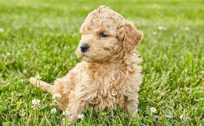 Goldendoodle Dog Breed Information, Pictures, Characteristics 9