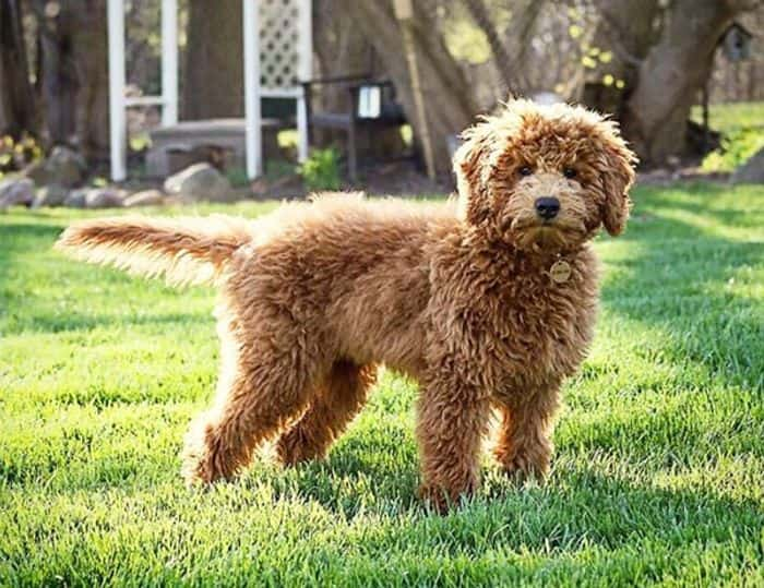Goldendoodle Dog Breed Information, Pictures, Characteristics 6