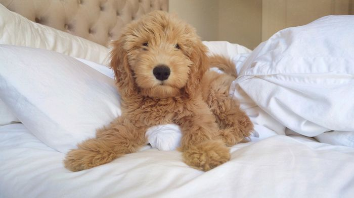 Goldendoodle Dog Breed Information, Pictures, Characteristics 8