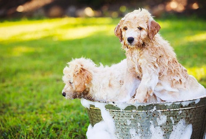 Goldendoodle Dog Breed Information, Pictures, Characteristics 5