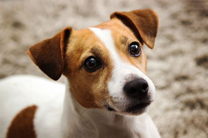 Jack Russell Terrier Dog Breed Information 2020 2