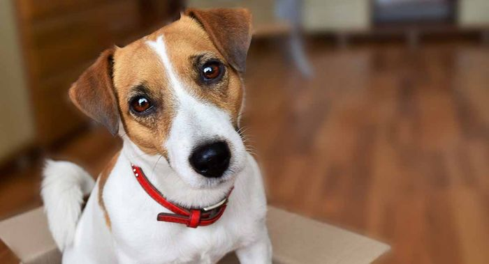 Jack Russell Terrier Dog Breed Information 2020 8
