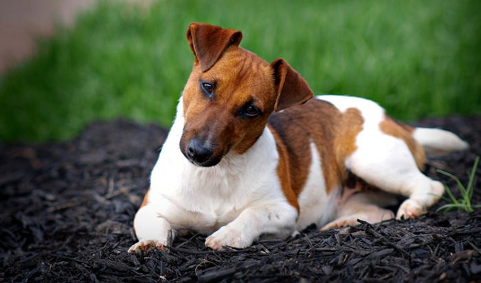 Jack Russell Terrier Dog Breed Information 2020 7