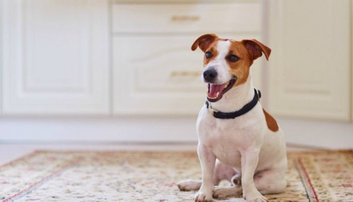 Jack Russell Terrier Dog Breed Information 2020 3