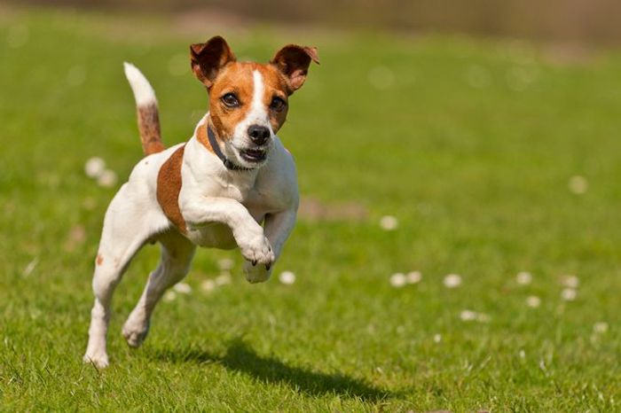 Jack Russell Terrier Dog Breed Information 2020 6
