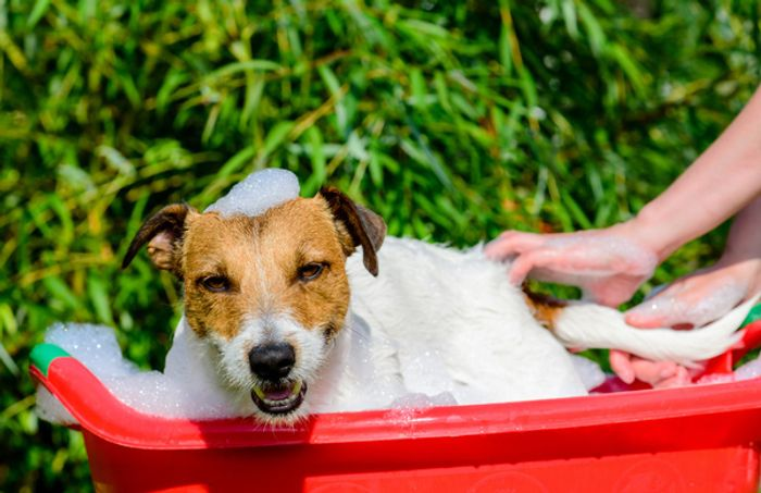 Jack Russell Terrier Dog Breed Information 2020 5