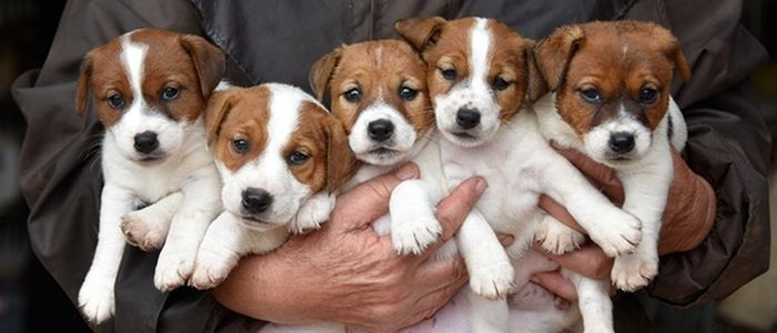 Jack Russell Terrier Dog Breed Information 2020 9