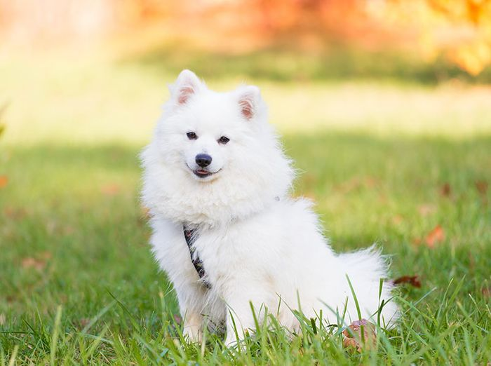 20 Most Popular White Dog Breeds 2020 14