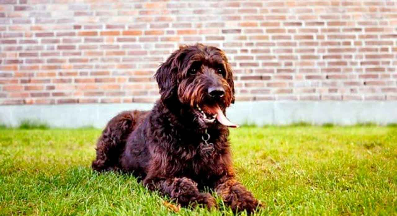 Labradoodle - Dog Breed Information, Pictures, Characteristics 1