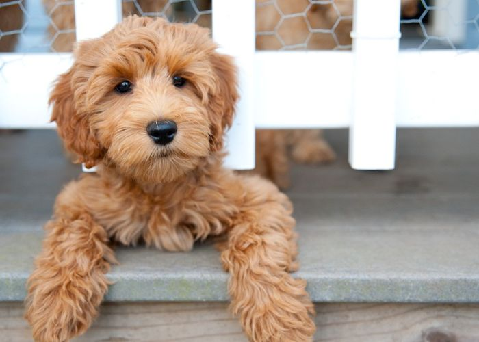 Labradoodle - Dog Breed Information, Pictures, Characteristics 6