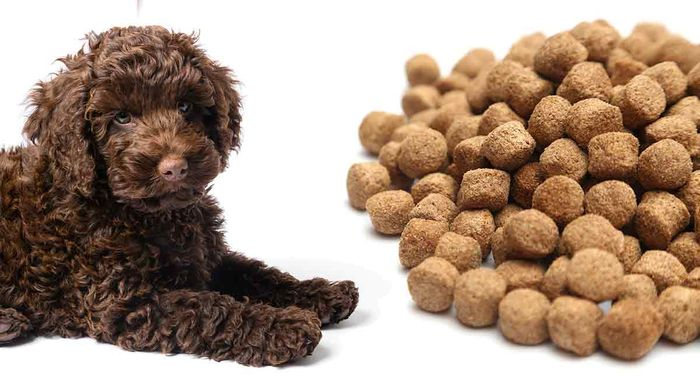 Labradoodle - Dog Breed Information, Pictures, Characteristics 4