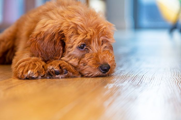 Labradoodle - Dog Breed Information, Pictures, Characteristics 8