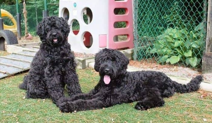 Labradoodle - Dog Breed Information, Pictures, Characteristics 9