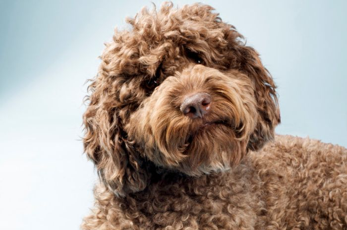 Labradoodle - Dog Breed Information, Pictures, Characteristics 7