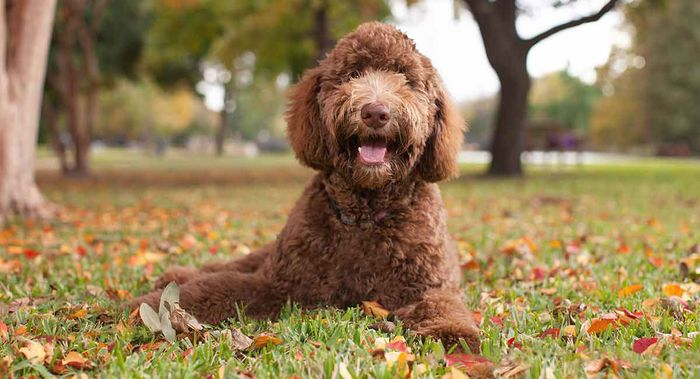 Labradoodle - Dog Breed Information, Pictures, Characteristics 3