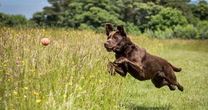 Labrador Retriever Dog Breed Information 2020 6