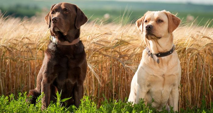 Labrador Retriever Dog Breed Information 2020 9