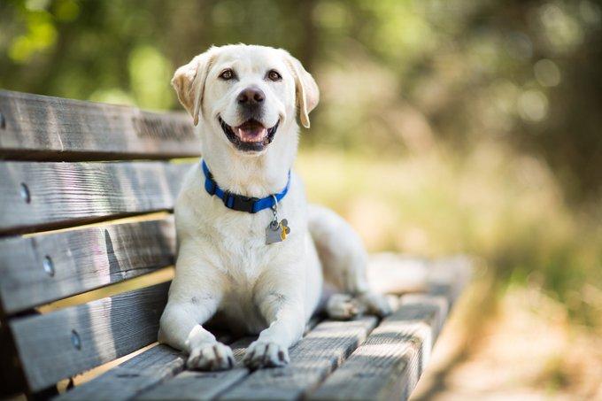 Labrador Retriever Dog Breed Information 2020 3
