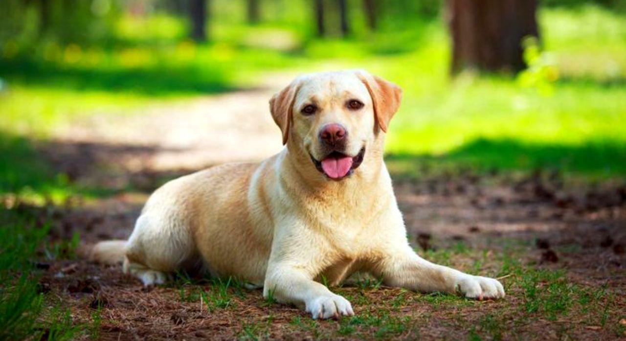 Labrador Retriever Dog Breed Information 2020 1