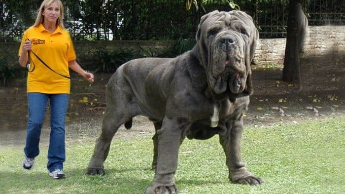 20+ Largest Dog Breeds Ever – 2020 1