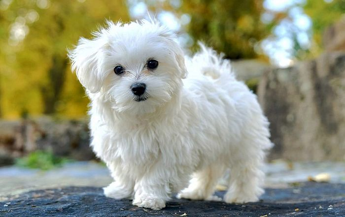 20 Most Popular White Dog Breeds 2020 3
