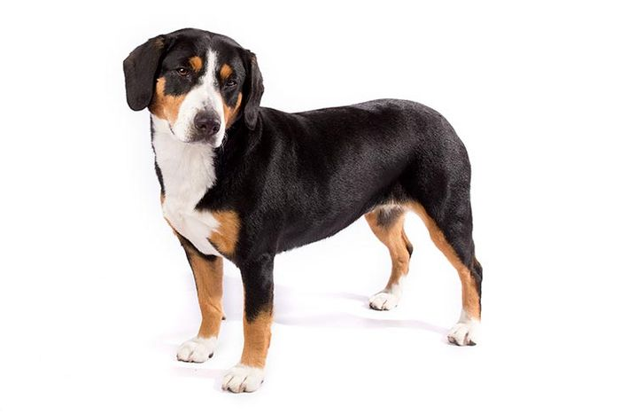 Mange in Dogs: Demodectic and Sarcoptic Mange in Canines 5