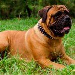Australian Shepherd Dog Breed Information 11