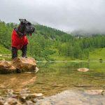 Cavalier King George Spaniel 11