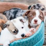 Blue Nose Pitbull - Dog Breed Information, Pictures, Characteristics 10