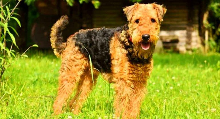 Terrier Breeds – The Full Guide 2020