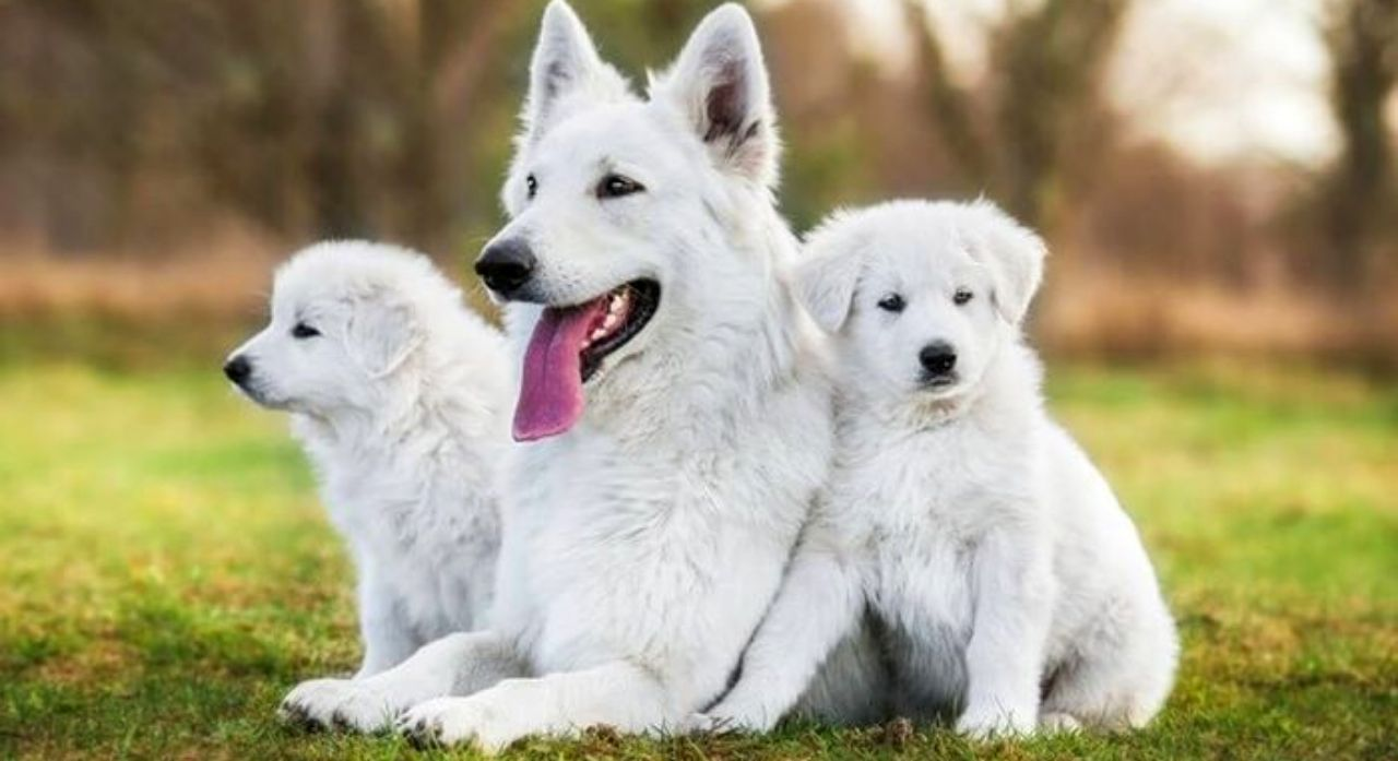 20 Most Popular White Dog Breeds 2020 1
